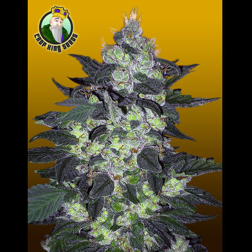Crop King Seeds - Candy Cane - 5-Pack Feminized