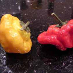 Chile Pepper - Scotch Bonnet Plant Plug (Capsicum chinense 'Scotch Bonnet')