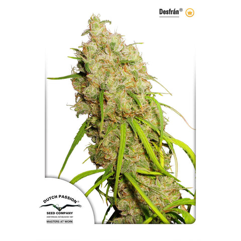 Dutch Passion - Desfran - 5-Pack Feminized