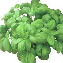 Basil - Dolly Basil Seed Pack (Ocimum basilicum 'Dolly')