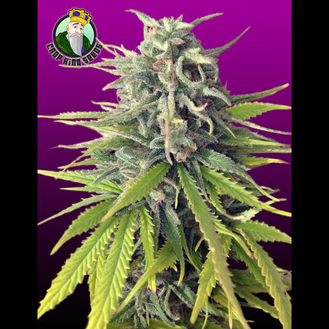 Crop King Seeds - Durban Poison - 5-Pack Feminized