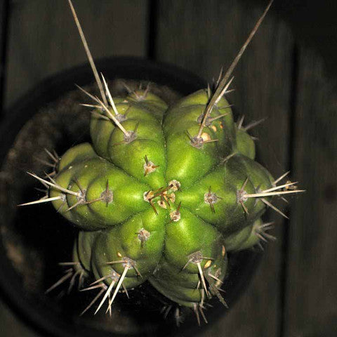 Peruvian Torch Cactus Plant - Small Baby