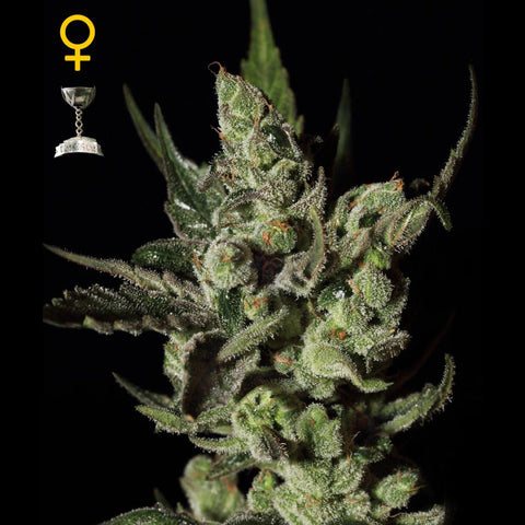 Greenhouse Seeds - Exodus Cheese - 5-Pack Feminized