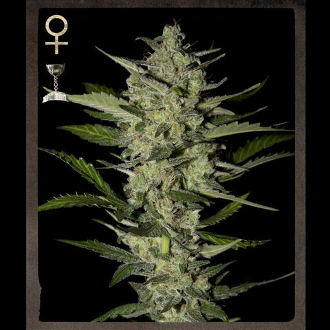 Greenhouse Seeds - Flowerbomb Kush - 5-Pack Feminized