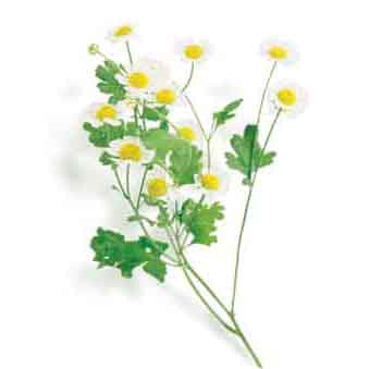 Feverfew Seed Pack (Chrysanthemum parthenium)