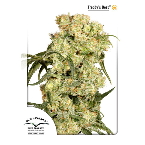 Dutch Passion - Freddy's Best - 5-Pack Feminized or 10-Pack Regular / Photoperiod (Not Autoflowering)