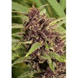 Dutch Passion - Frisian Dew - 5-Pack Feminized