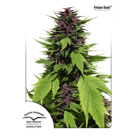 Dutch Passion - Frisian Duck - 5-Pack Feminized