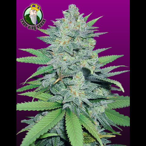 Crop King Seeds - Green Crack - 5-Pack Feminized