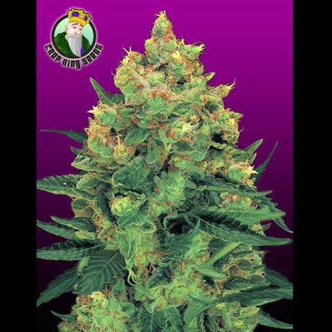 Crop King Seeds - Hash Plant - 5-Pack Feminized