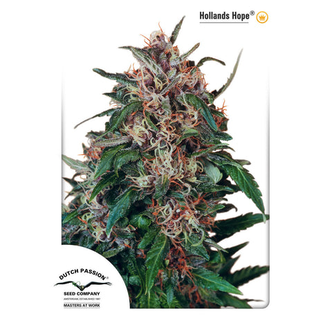 Dutch Passion - Holland's Hope - 3-Pack or 5-Pack Feminized