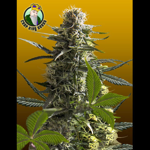 Crop King Seeds - Jack Herer Auto - 5-Pack Feminized
