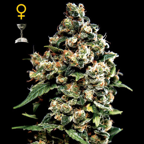Greenhouse Seeds - Jack Herer - 5-Pack Feminized
