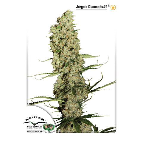 Dutch Passion - Jorge's Diamonds #1 - 5-Pack Feminized