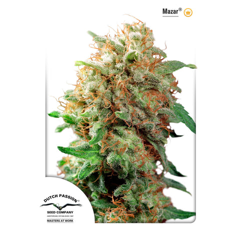 Dutch Passion - Mazar - 10-Pack Regular / Photoperiod (Not Feminized)