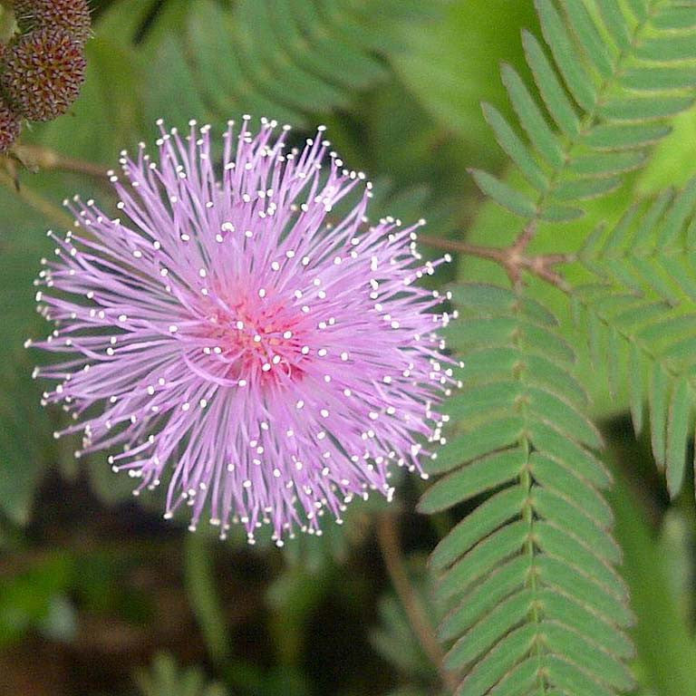 Mimosa (Mimosa pudica) 1g of Seeds