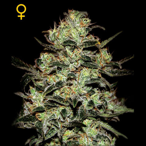 Greenhouse Seeds - Moby Dick - 5-Pack Feminized