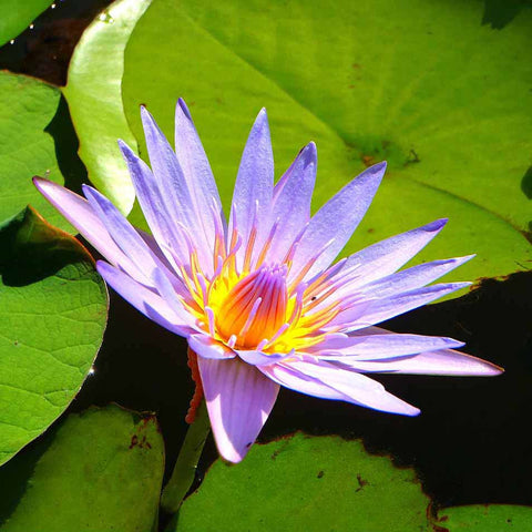 Blue Lily (Nymphaea caerulea) Dried Herb / Flower /1g