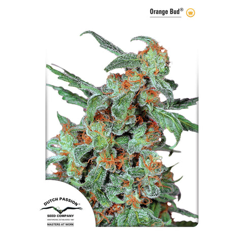 Dutch Passion - Orange Bud - 5-Pack Feminized