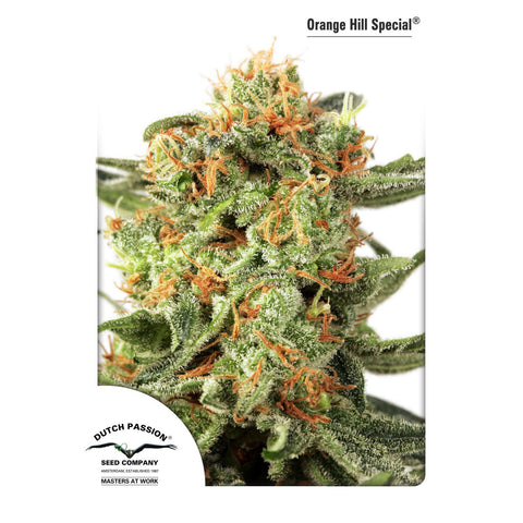 Dutch Passion - Orange Hill Special - 5-Pack Feminized
