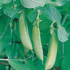 Pea - Sugar Snap Pea Seed Pack (Pisum sativum macrocarpon 'Sugar Snap')