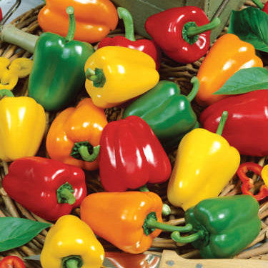 Chile Pepper - Mini Bell Pepper Seed Pack (Capsicum annuum 'Mini Bell')