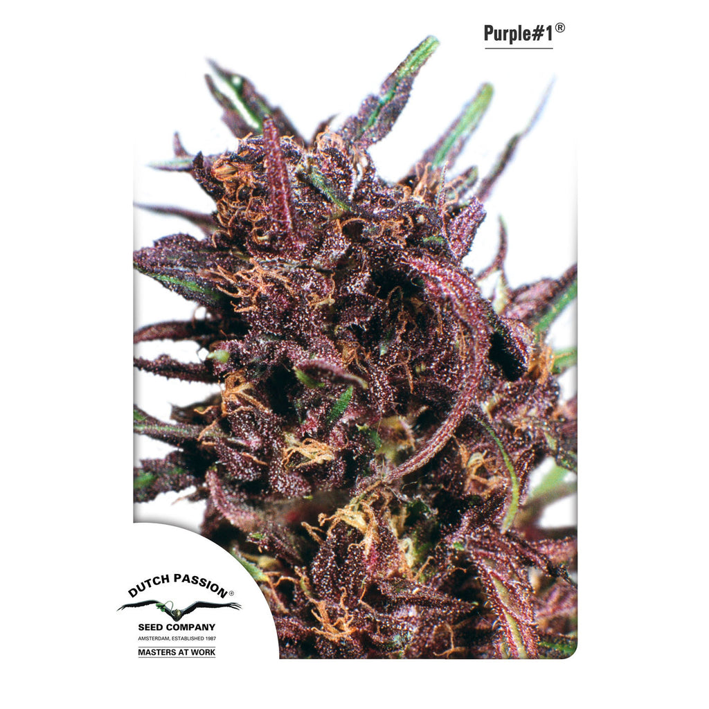 Dutch Passion - Purple #1 - 5-Pack Feminized