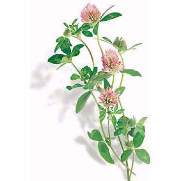 Clover - Red Clover Seed Pack (Trifolium pratense)