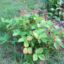 Strawberry - Alpine Strawberry Seed Pack (Fragaria vesca 'Ruegen')