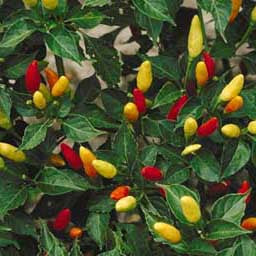Chile Pepper - Tabasco Seed Pack (Capsicum annum 'Tabasco')