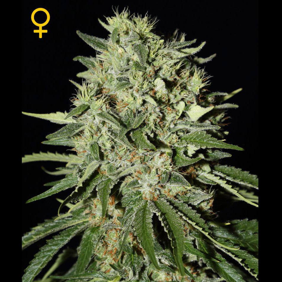 Greenhouse Seeds - The Doctor - 5-Pack Feminized