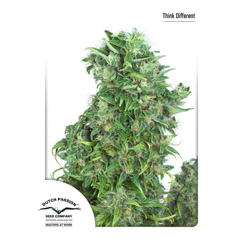 Dutch Passion - Think Different (Autoflowering) - 7-Pack Feminized
