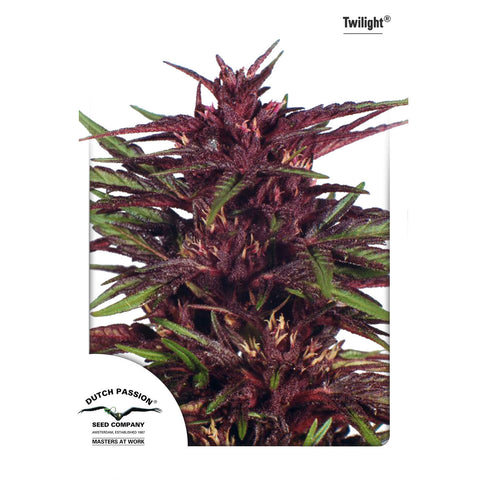 Dutch Passion - Twilight - 5-Pack Feminized