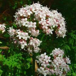 Valerian - Anthos Valerian Seed Pack (Valeriana officinalis 'Anthos')