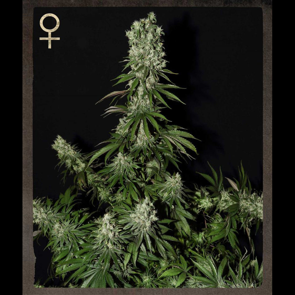 Greenhouse Seeds - White Strawberry Skunk - 5-Pack Feminized