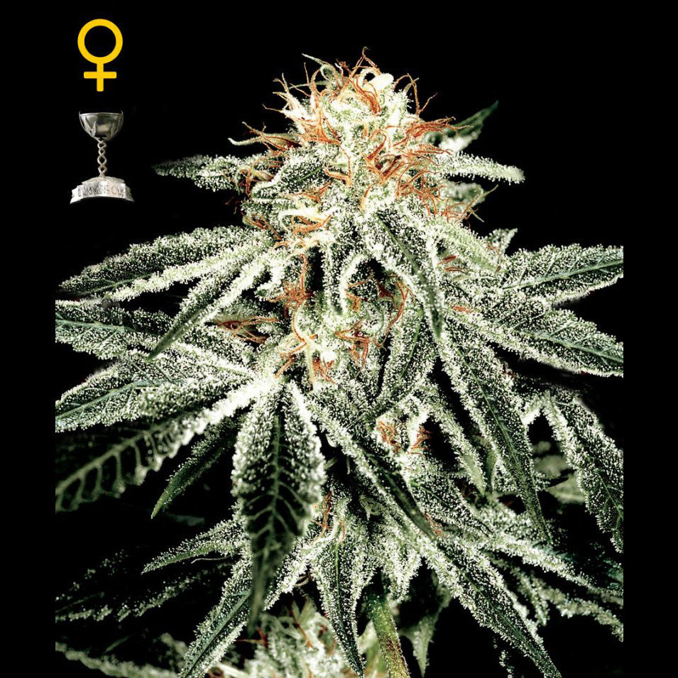 Greenhouse Seeds - White Widow - 5-Pack Feminized