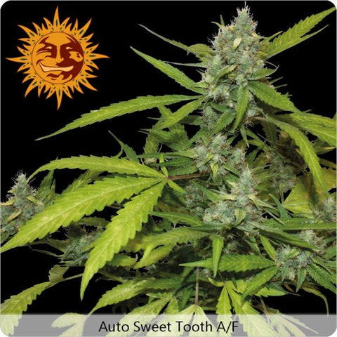 Barney's Farm - Sweet Tooth Auto (Autoflowering) - 5-Pack Feminized
