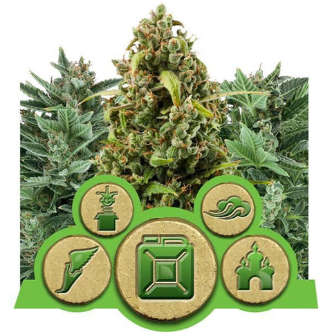Royal Queen Seeds - Autoflowering Feminized Outdoor Mix - 3-Pack or 5-Pack