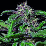 Barney's Farm - Ayahuasca Purple - 5-Pack Feminized