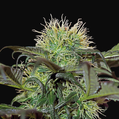 Barney's Farm - Bad Azz Kush - 5-Pack Feminized