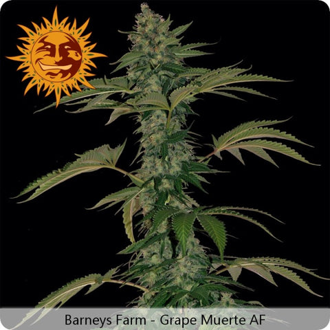 Barney's Farm - Grape Muerte Autoflowering - 5-Pack Feminized