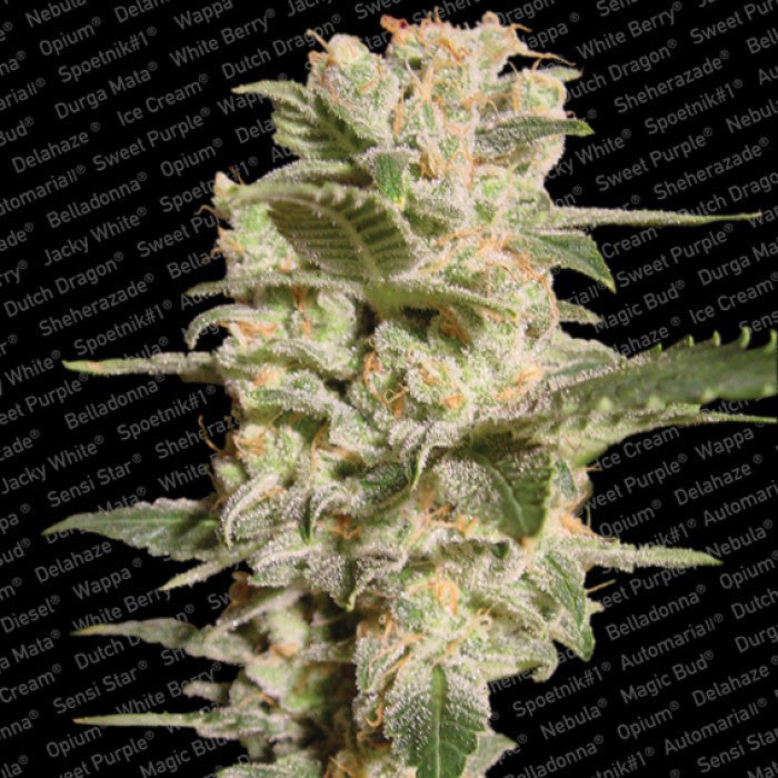 Paradise Seeds - Belladonna - 5-Pack Feminized