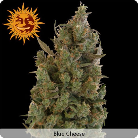 Barney's Farm - Blue Cheese - 5-Pack Feminized