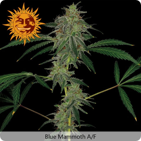 Barney's Farm - Blue Mammoth Autoflowering - 5-Pack Feminized