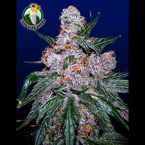 Crop King Seeds - Blueberry - 5-Pack Regular / Photoperiod (Not Feminized)