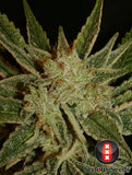 Serious Seeds - Bubble Gum - 11-Pack Regular / Photoperiod (Not Feminized)