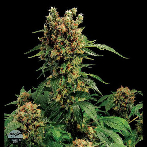 Dinafem - California Hash Plant - 5-Pack Feminized