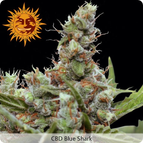 Barney's Farm - CBD Blue Shark - 3-Pack or 5-Pack Feminized
