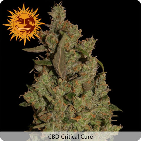 Barney's Farm - CBD Critical Cure - 3-Pack or 5-Pack Feminized
