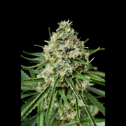 Dinafem - Critical + (Critical Plus) - 5-Pack Feminized